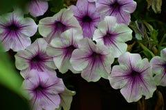Petunia gegaan wild! Stock Foto's