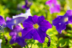 Petunia Royalty Free Stock Photography