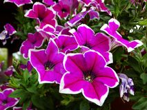 Close up of colorful blooming petunia flowers, natural background. stock photos