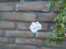 White petunia, flower stock photo