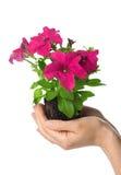 Petunia grandiflora Stock Images