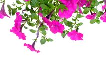 Free Petunia Grandiflora Border Isolated On White Background Stock Photography - 109461822