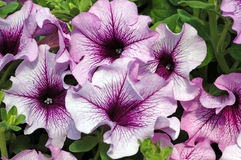 Petunia grandiflora 'Sugar Daddy'. Closeup of a cluster of pale purple with deep burgundy throat and veins petunia flowers in the bright summer sunshine Stock Image