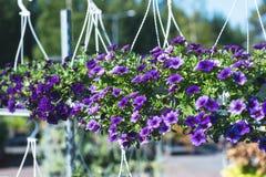 Petunia híbrida del patio con las pequeñas flores púrpuras en un pote suspendido imagenes de archivo