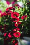 Petunia híbrida del patio con las pequeñas flores rojo oscuro en un pote suspendido fotos de archivo libres de regalías