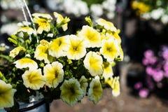 Petunia híbrida del patio de Surfinia en un pote suspendido imagen de archivo