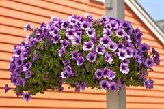 Petunia Hanging Basket Stock Images