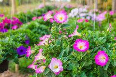 Petunia hanging on baskets in Thailand Royalty Free Stock Photography