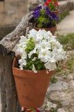 Petunia hanging cache-pot Stock Image