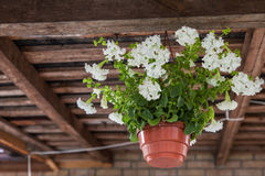 Petunia hanging pot Stock Images