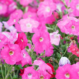 Petunia hermosa Fotografía de archivo libre de regalías