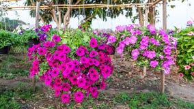 Petunia het hangen op manden in Thailand Royalty-vrije Stock Foto's