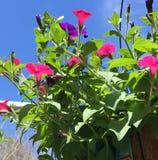 Petunia in het hangen van mand Royalty-vrije Stock Foto