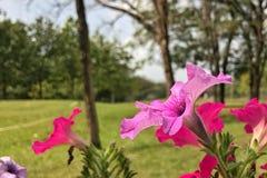 Petunia in het park Royalty-vrije Stock Afbeeldingen