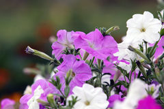 Petunia hybrid flowering plants with pink and white flower royalty free stock images