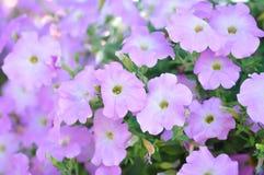 Petunia Hybrida eller petunia royaltyfri foto