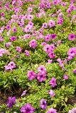 Petunia hybrida flower. In nature garden stock photography