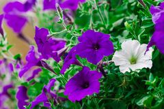 Petunia Hybrida, low trees and shrubs is quite kind towards the tendril is a soft wood, approximately 30 cm tall stem. Petunia Hybrida, is a tree in the same stock image
