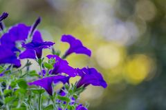 Petunia hybrida is native to South America as a background. Petunia hybrida native to South America that is the background royalty free stock photography