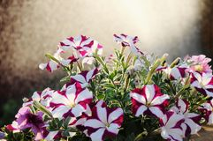 Petunia hybrida. Two-colored petunia hybrida against water spray and sunset background stock photography