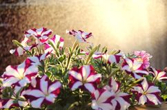 Petunia hybrida. Two-colored petunia hybrida against water spray and sunset background royalty free stock photography