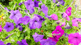 Petunia hybrida. In two colors stock images