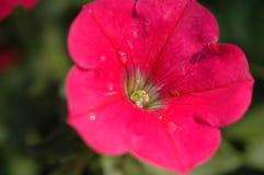 Petunia Hybrida Vilm Arkivfoto