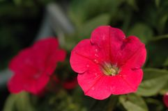 Petunia Hybrida Vilm Arkivbilder