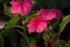 Petunia Hybrida Vilm Royaltyfria Bilder