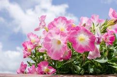 Petunia Hybrida Vilm lub petunia Zdjęcia Stock