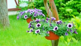 Petunia i blomkrukorna arkivfoto