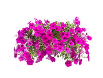 Petunia isolated Stock Images