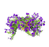 Petunia isolated Royalty Free Stock Images