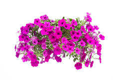 Petunia isolated Royalty Free Stock Photography