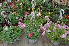 petunia Kolorowi wiosny i lata kwiaty w obwieszeniu puszkują w szklarni Barwione petunie w garnkach Kwiecisty wzór, przekątna co Zdjęcia Stock