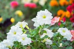Petunia kwiatów kwiat w ogródzie Obrazy Stock