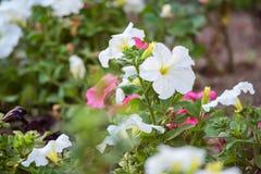 Petunia kwiatów kwiat w ogródzie Fotografia Royalty Free