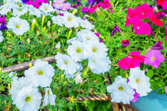 Petunia kwiatów kwiat w ogródzie Obraz Royalty Free