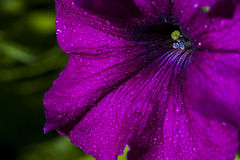 Petunia kwiat Obraz Stock