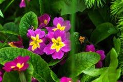 Petunia kwiat zamknięci wiśnia kwiaty uprawiają ogródek czerwonej wiosna tulipany w górę biel Obrazy Royalty Free