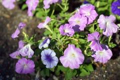 Petunia kwiatu ogródy fotografia stock