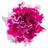 Petunia kwiatu zakończenie obrazy stock