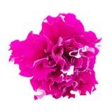 Petunia kwiatu zakończenie obraz stock