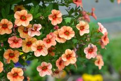 Petunia kwiaty obrazy stock