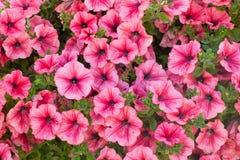 Petunia kwitnie tło Obrazy Royalty Free