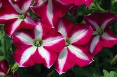 Petunia 'lätt vågBourgognestjärna', Royaltyfri Fotografi
