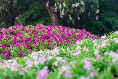 Petunia, lilor och vit Fotografering för Bildbyråer