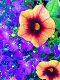 Petunia and lobelia Stock Photos