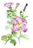 petunia Mano-dibujo botánico del ejemplo de la acuarela Imagen de archivo
