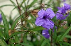 Petunia messicana Immagine Stock